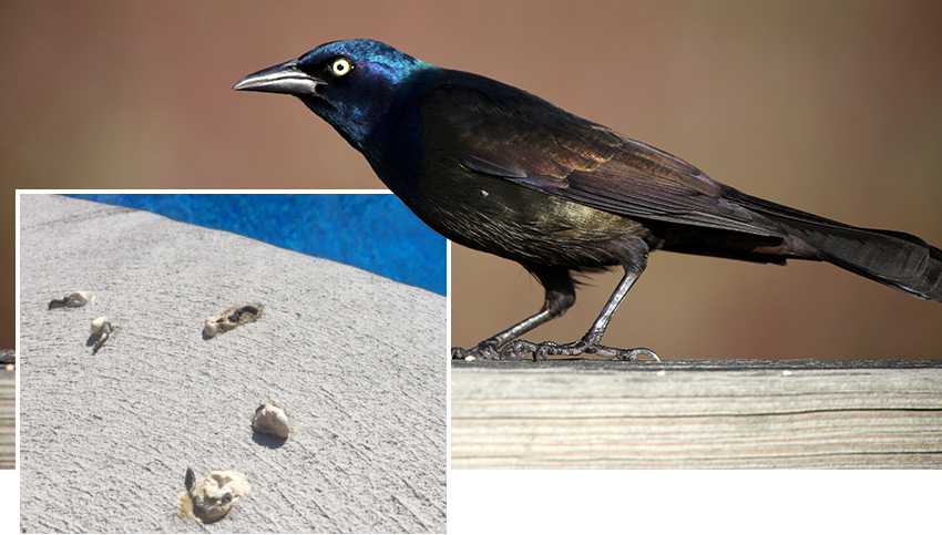 Grackle Droppings